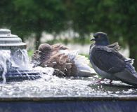 Pigeons in city fountain Royalty Free Stock Photo