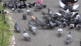Pigeons in a city park. Crowding to the food stock video
