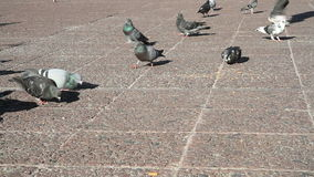 Pigeons in a city park stock footage