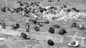 Pigeons in the city park in the morning Stock Photos