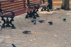 Pigeons in a city. Stock Photos