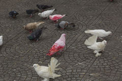 Pigeons in the city. Pigeons on the sidewalk in the city royalty free stock photography