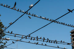 Pigeons in the city. Pigeons sitting on power lines in the city Stock Photography