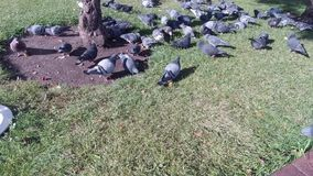 Pigeons in the city square.  stock footage