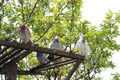 Pigeons cleaning themselves with tree behind Stock Image