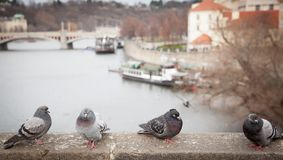 Pigeons close look. A closer look of pigeons in Prague city center royalty free stock photography