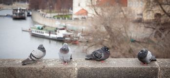 Pigeons close look. A closer look of pigeons in Prague city center stock photo