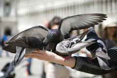 Pigeons Stock Photography