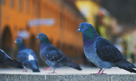 Pigeons close up at Piata Sfatului - Council Square in downtown of Brasov Royalty Free Stock Image