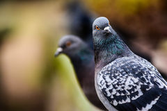 Pigeons in closeup Royalty Free Stock Photography