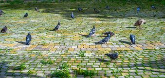 Pigeons On Cobbles. Stock Photography