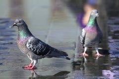 Pigeons colorés Photos stock