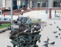 Pigeons on the column. animal, nature. Stock Photography