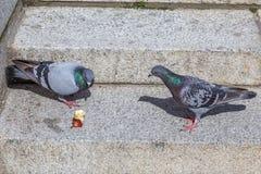 Pigeons combattant au-dessus d'Apple Image stock