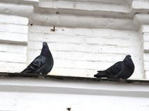 Pigeons on the cornice. Pigeons sitting on a cornice of a brick city building Royalty Free Stock Images
