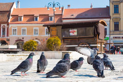 Pigeons at Council Square in downtown of Brasov Royalty Free Stock Photography