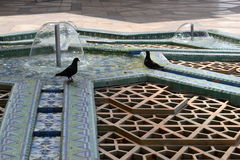 Pigeons couple in a mosque's foutain in Morocco. Royalty Free Stock Photography