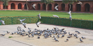 Pigeons on the courtyard. Of a famous fort in Agra, India, having grains royalty free stock photo