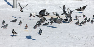 Pigeons and crows in winter Royalty Free Stock Images