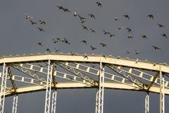 Pigeons décollant du pont Photo stock