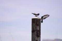 Pigeons d'âme s?ur images libres de droits