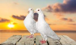 Pigeons d'amour Photos libres de droits