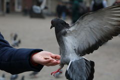 Pigeons. On Dam Square, Amsterdam, Netherlands Stock Images