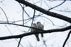 Pigeons dans l'amour Photos stock