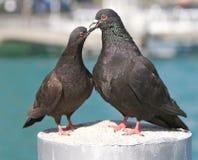 Pigeons dans l'amour Photographie stock libre de droits