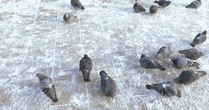 Pigeons dans la neige banque de vidéos