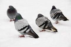 Pigeons dans la neige Images libres de droits