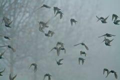 Pigeons dans le brouillard Photos stock
