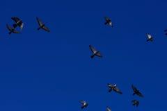 Pigeons dans le ciel Photos libres de droits