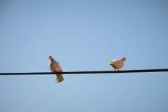 Pigeons dans le combat Image stock