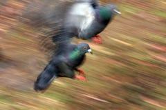 Pigeons dans le mouvement image stock
