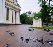 Pigeons dans le mouvement images libres de droits