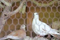 Pigeons dans une cage Photos libres de droits