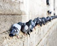 Pigeons dans une rangée Image libre de droits
