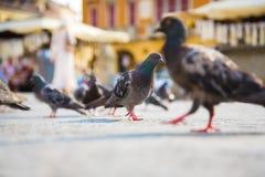 Pigeons dans une ville Images stock