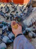 Pigeons de alimentation images libres de droits