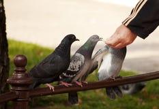 Pigeons de alimentation d'homme Photos stock