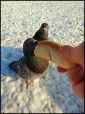Pigeons de alimentation de la main 1 Photo stock