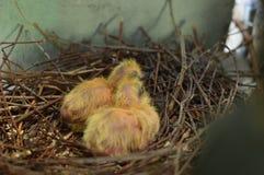 Pigeons de bébé Photographie stock libre de droits