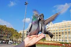 Pigeons de combat La colombe se repose sur une main du ` s de femme Photos libres de droits