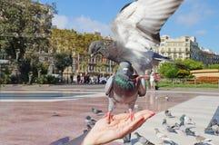 Pigeons de combat La colombe se repose sur une main du ` s de femme Image libre de droits