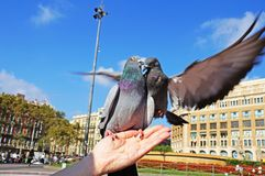 Pigeons de combat La colombe se repose sur une main du ` s de femme Photo libre de droits