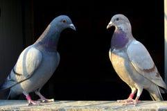 Pigeons de couples Photo libre de droits