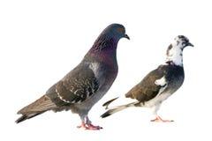 Pigeons de couples. Image libre de droits