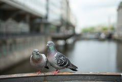 Pigeons de couples dans l'amour Photos libres de droits