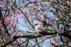 Pigeons de couples sur l'arbre des fleurs roses Photo libre de droits